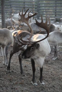male-reindeer-finland-500x750-1
